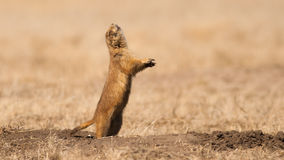 Barking Prairie Dog. I caught a prairie dog at the perfect moment as it gives a warning bark to inform his friends of our presence royalty free stock images