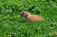 Barking prairie dog Stock Images