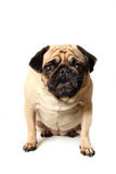 Barking Pug Stock Images