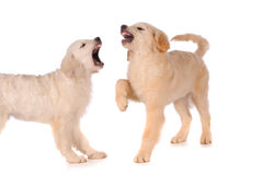 Barking purebred golden retriever dogs Royalty Free Stock Images
