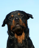 Barking rottweiler. Barking purebred mastiff rottweiler detoured: beautiful dog Stock Photos