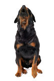 Barking rottweiler Royalty Free Stock Images
