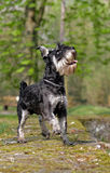Barking schnauzer dog. Lateral close-up of a barking schnauzer dog Royalty Free Stock Photo
