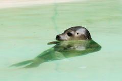 Barking Sea Lion Royalty Free Stock Photos