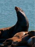 Barking Sea Lion royalty free stock photo