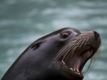 Barking sea lion head Stock Images