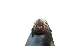 Barking sea lion Stock Photo