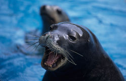 Barking Sea Lion. Sea lions are sea mammals characterized by external ear flaps, long fore-flippers, the ability to walk on all fours, and short, thick hair Stock Image