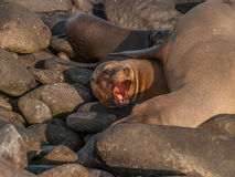 Barking Sea Lion. Underneath large lion on black rocks in Galapagos Islands, Ecuador Stock Image
