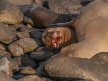 Barking Sea Lion Stock Image