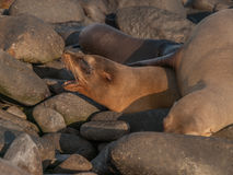 Barking Sea Lion. Underneath large lion on black rocks in Galapagos Islands, Ecuador Stock Photos