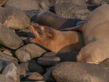 Barking Sea Lion Stock Photos