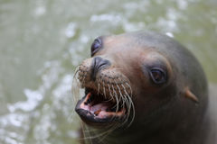 A Barking Seal Swimming in Green Water. Looking sideways with eyes and mouth open royalty free stock photos