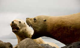 Barking Seals Royalty Free Stock Images