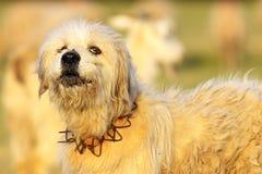 Barking sheepdog closeup. Barking fluffy sheepdog closeup, image taken near the farm Royalty Free Stock Photography