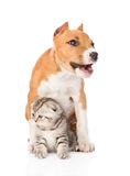 Barking stafford puppy dog and small cat sitting together. isolated Stock Photo