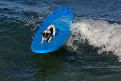 Barking surfer. Small dog riding surfboard over crest of wave Stock Images