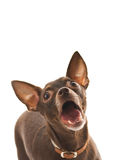 Barking toy terrier Royalty Free Stock Photos