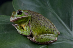 Barking tree frog. The barking tree frog ,Hyla gratiosa, is a tree frog, 5 to 7 centimeters long Stock Photography