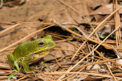 Barking Tree Frog. A Barking Tree Frog found in Apalachicola National Forest royalty free stock photos