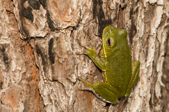 Barking Tree Frog. A Barking Tree Frog found in Apalachicola National Forest stock images