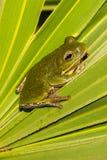 Barking Tree Frog Royalty Free Stock Photos