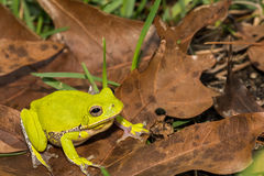 Barking Tree Frog. A Barking Tree Frog found in Apalachicola National Forest Royalty Free Stock Photo