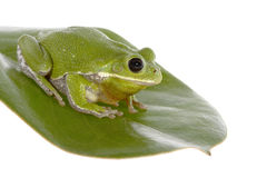 Barking Tree Frog on Magnolia Leaf, isolated Royalty Free Stock Images