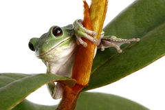 Barking Tree Frog on Magnolia Tree Branch Royalty Free Stock Images