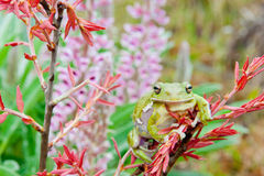 Barking Treefrog Royalty Free Stock Photos