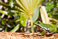 Barking Treefrog. A beautiful Barking Treefrog in the Florida Panhandle royalty free stock photo