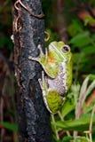 Barking Treefrog. A Barking Treefrog climbing a small burnt tree in Florida Royalty Free Stock Photo