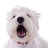 Barking westie. Barking West Highland White Terrier  in front of a white background Stock Photos