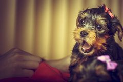 Barking Yorkshire terrier puppy Stock Images