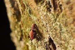 Barklice Psocoptera Στοκ φωτογραφίες με δικαίωμα ελεύθερης χρήσης