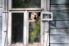 Barkling hund i ett fönster av ett trähus i den Suzdal staden av Ryssland Arkivbilder