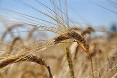 Barley. Ripe barley on a field in July royalty free stock photos