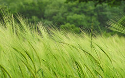 Barley. Field close up royalty free stock images