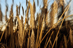 Barley. Close-up of the details of a sheaf of barley Royalty Free Stock Photo