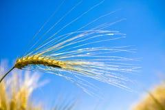 Barley Royalty Free Stock Image
