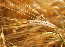 Barley Royalty Free Stock Photography