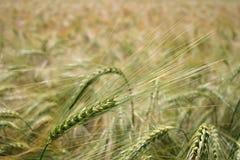 Barley. Shot in field Stock Photo
