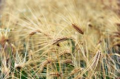 Barley Royalty Free Stock Image
