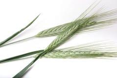 Barley. Royalty Free Stock Photo