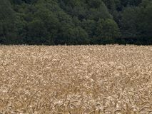 Barley. Field of barley ready to harvest royalty free stock image