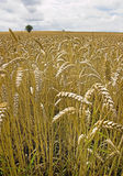 Barley. Low level view of barley crop Royalty Free Stock Image