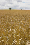 Barley. High level view of barley field with two trees in horizon Royalty Free Stock Photography