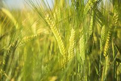 Barley. Detail Growing In Summer Stock Images