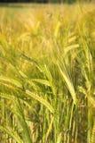 Barley. Detail Growing In Summer Stock Photo