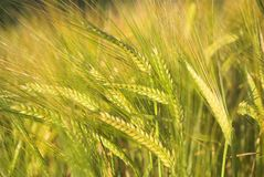 Barley. Detail Growing In Summer Royalty Free Stock Photography
